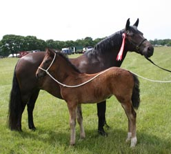 Hollybrooke Melitta and foal